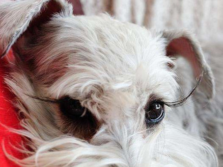 Your pet's lashes!The longest Lashes in America!