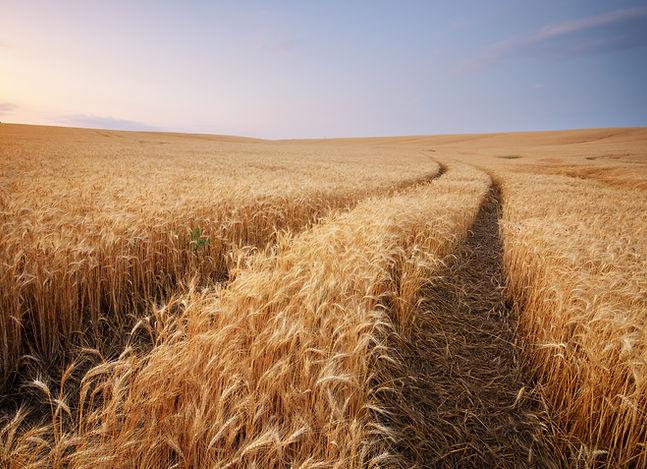 meadow-of-wheat-NAXTV5Z.jpg