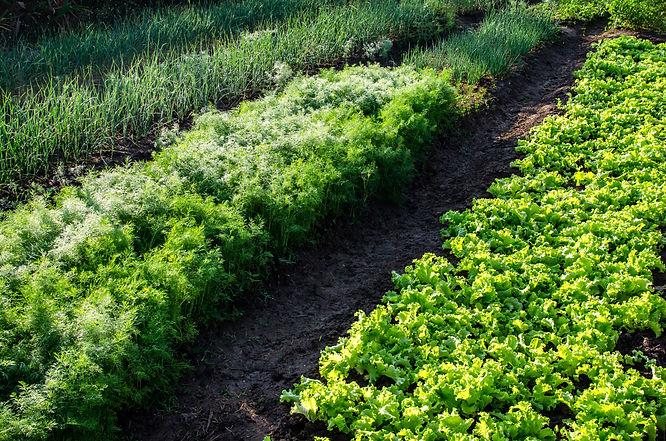 vegetable-garden-9F4HLYB.jpg