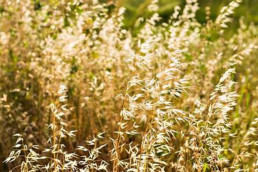 oat-on-the-field-PTLSJGG.jpg