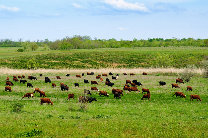 cows-grazing-on-green-meadow-PDZT6RN.jpg