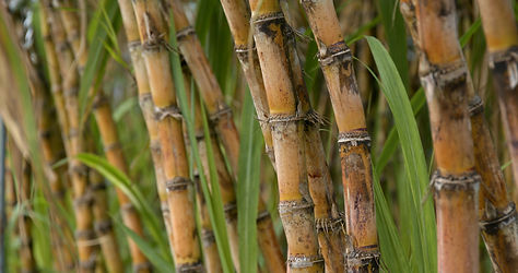 sugar-cane-farm-4C98PQR_edited.jpg