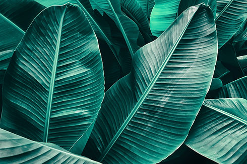 tropical leaf texture, large palm foliag