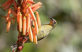 Olive Sunbird.jpg