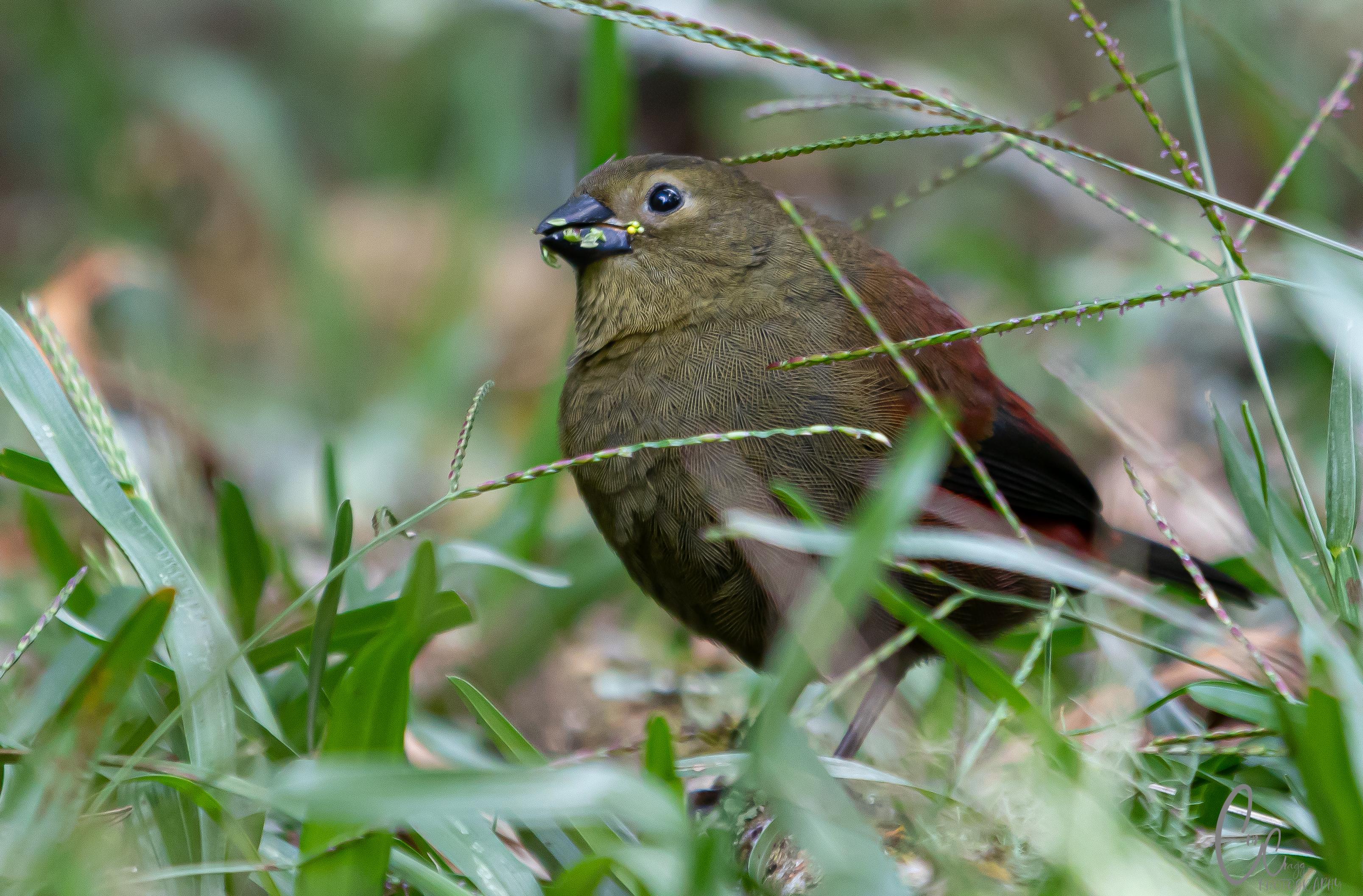 Red-faced Crimsonwing-2