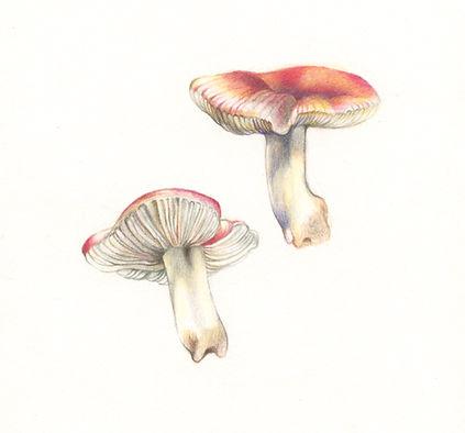 russula_emetica_mushroom_2018.jpg