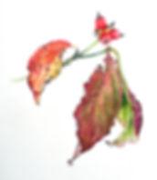 dogwood_berries_leaves.jpg