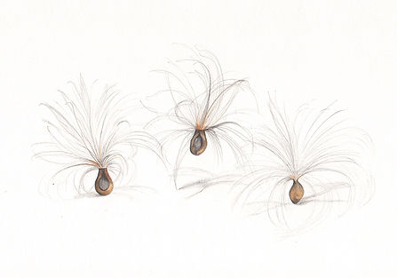 milkweed_seeds_trio.jpg