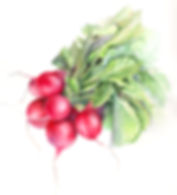 radishes_study_no.2_rev.jpg