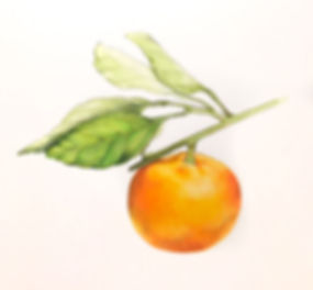 clementine_stem_leaves.jpg