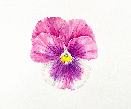 magenta_purple_cream_pansy.jpg