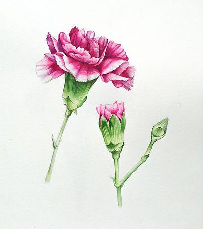 hot_pink_carnation.jpg
