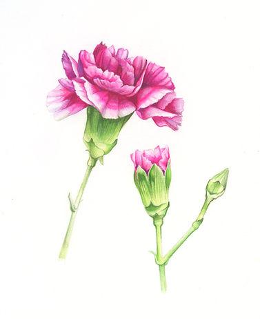 fluorescent_pink_carnation_2019.jpg