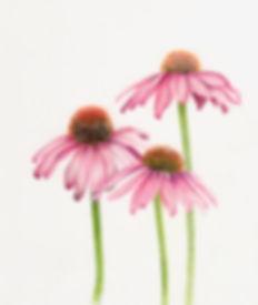 echinacea_trio.jpg