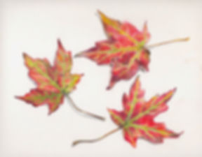silver_maple_leaves.jpg