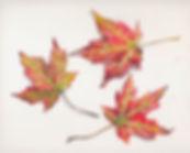 silver_maple_leaves.jpg