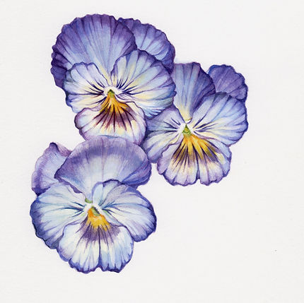 powder_blue_pansies.jpg