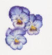 powder_blue_pansies.jpg