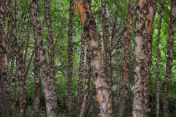 river_birch.jpg
