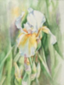 white_iris.jpg