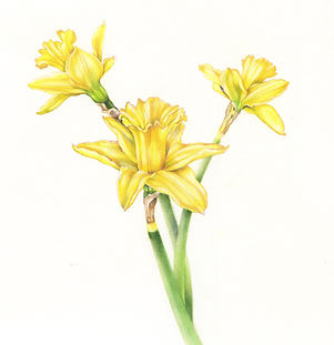 daffodil_trio_2020.jpg