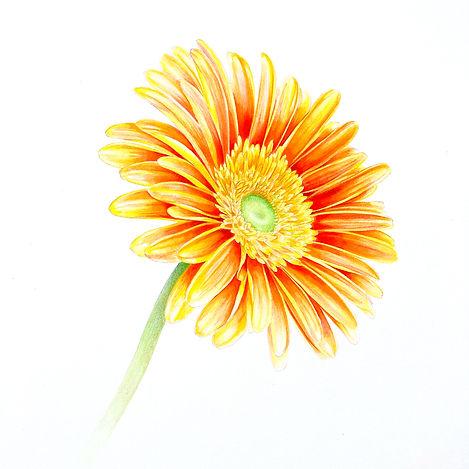 yello_orange_gerbera.jpg