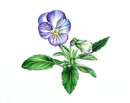 lt_purple_pansy.jpg