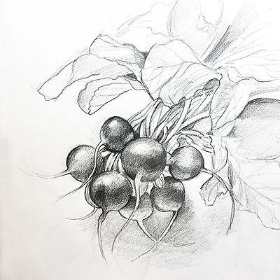 radishes_sketch.jpg