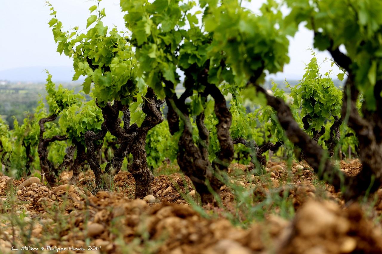 Vignoble__La_Millière