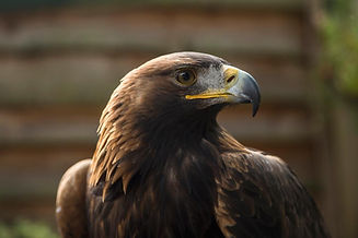 golden-eagle.jpg