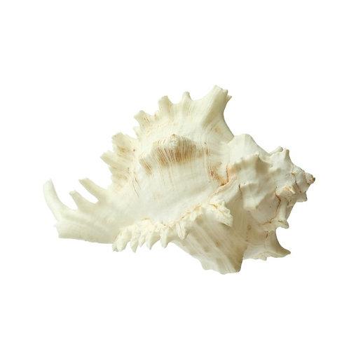 Large White Alabaster Murex Shell