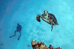 Sea Turtles and Diving