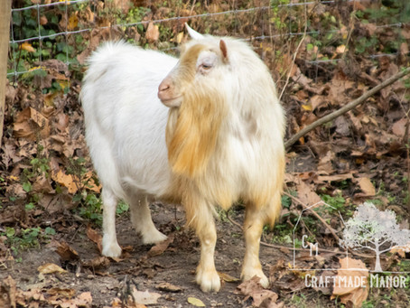 3 Steps To Getting Started With Goat Semen Collection