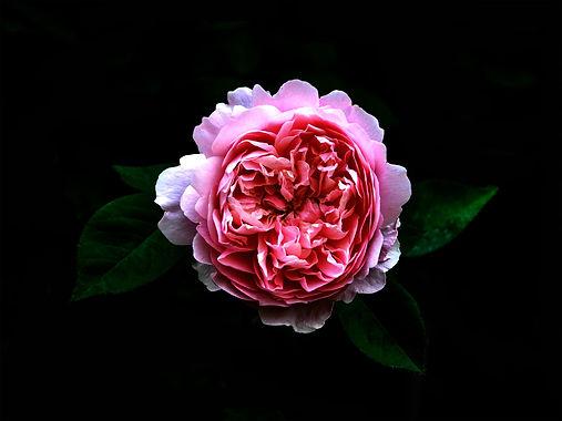 rose-3516513_1920.jpg