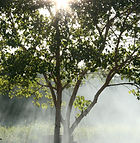 image of a tree with sunshine and fog behind it
