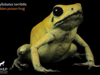 Por qué no todas las ranas venenosas son ranas dardo (y cómo llamarlas correctamente)