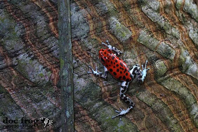 Oophaga pumulio Spots 3 CRWILD