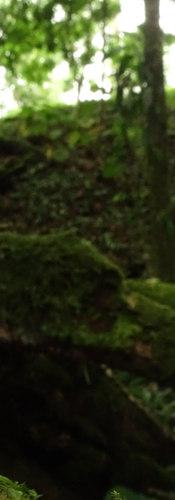 Oophaga pumilio