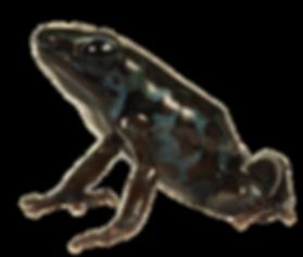 Dendrobates auratus.png