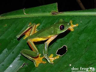 CRWILD /Agalychnis spurrelli, Gliding tree frog reproductive explosion