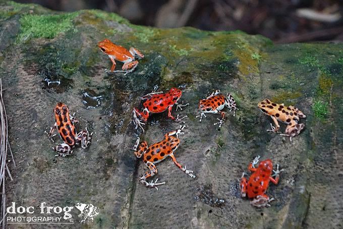 Oophaga pumulio Multiple variations CRWI