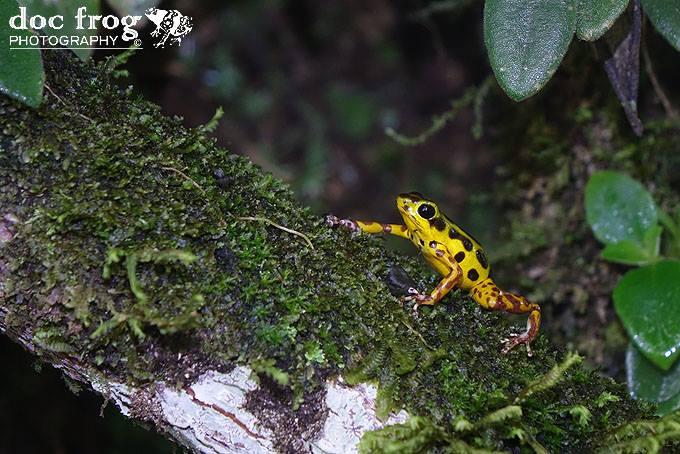 Oophaga pumulio Yellow CRWILD