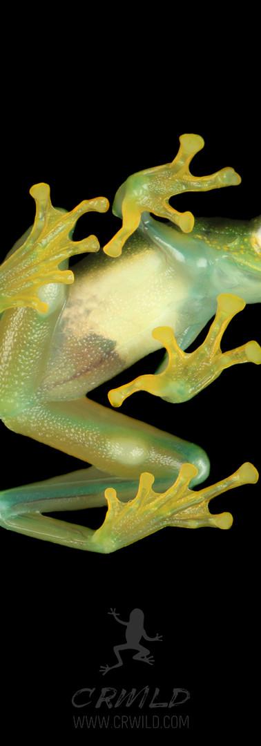 Glass Frogs CellPhone Wallpaper .jpg