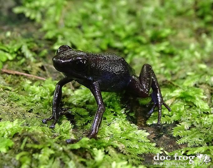 Oophaga pumulio Dark Variation CRWILD