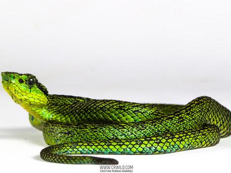 Bothriechis Nigroviridis
