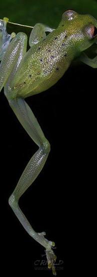 Cochranella granulosa  2 wallpaper.jpg