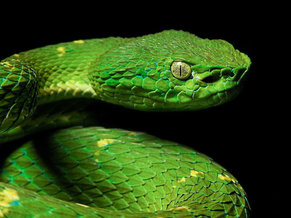 Bothriechis lateralis Herping Poas.jpg