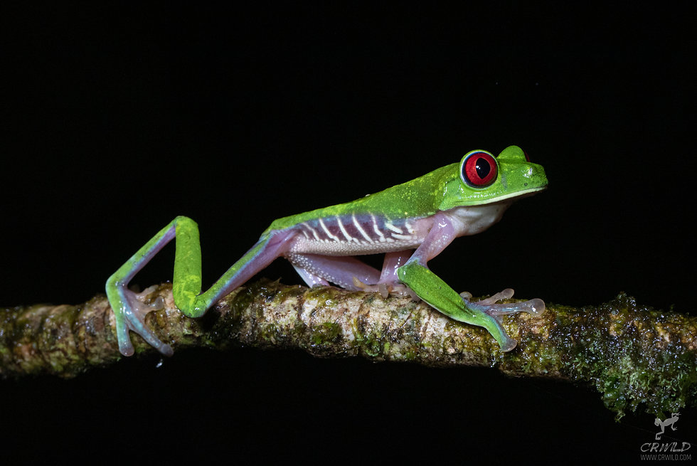 COSTA RICA PACIFIC HERPING EXPEDITION.jpg