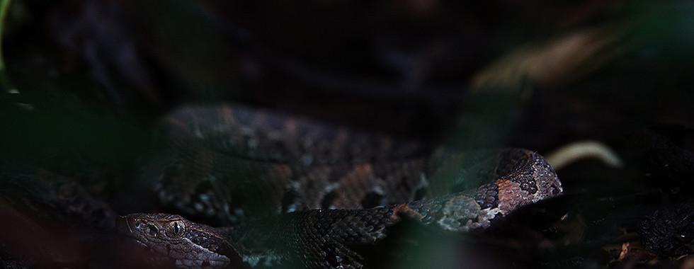 Atropoides picadoi.jpg