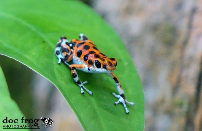 Oophaga pumulio Spots 2 CRWILD